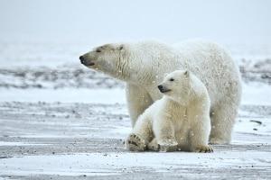 Photo of Orsi polari in Alaska, popolazione del mare di Beaufort quasi dimezzata