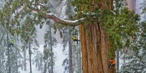 Scalare una sequoia gigante (Photo Nichols-Nationalgeographic.com)