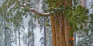 Photo of Foto choc: scalare una sequoia grande quanto una parete
