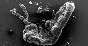 Photo of (English) Una pulce di ghiacciaio vista al microscopio: spettacolari scatti scientifici in Alta Valtellina