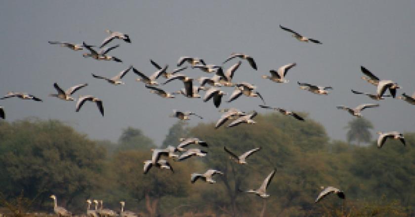 Bar-headed_Geese-_Bharatpur_I_IMG_8337-300x212.jpg