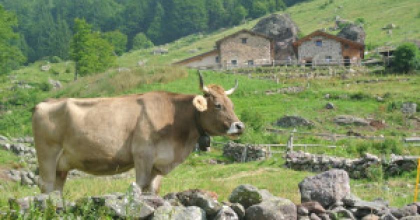 Bruna-alpina-300x201.jpg