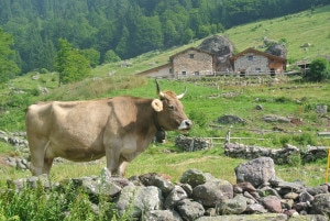 Photo of La Bruna Alpina deve ritornare nei nostri alpeggi: nasce l'associazione