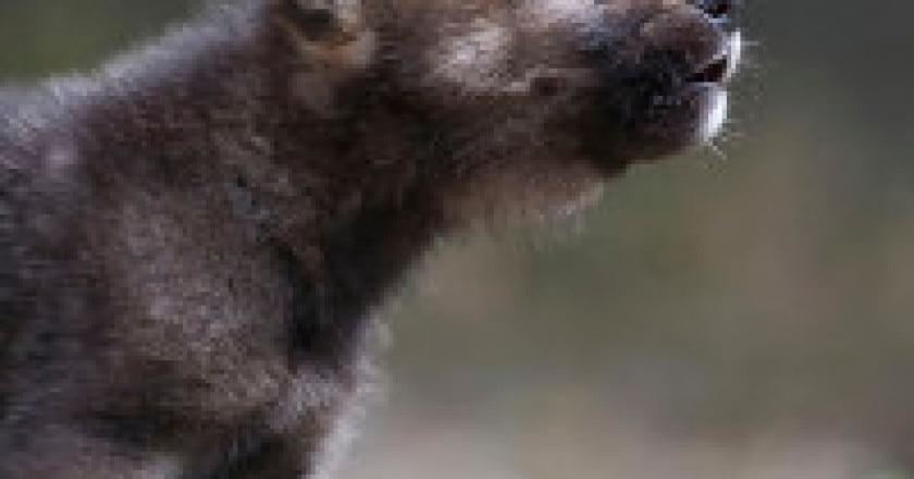 Cucciolo-di-lupo-photo-Wild-Wonders-of-Europe-Sergey-Gorshkov-WWF-200x300.jpg
