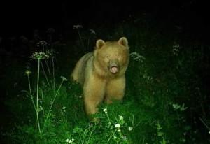 Photo of Avvistato un orso in Valchiavenna