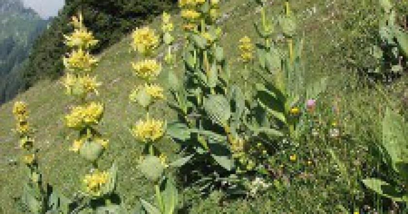 genziana-maggiore-nel-suo-habitat-225x300.jpg