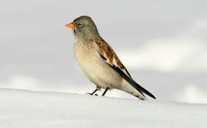 Photo of Alpi, allarme della Lipu:uccelli a rischio per i cambiamenti climatici