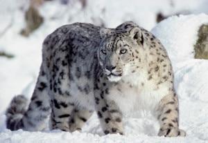 Photo of Il leopardo delle nevi sempre più raro: allarme del Wwf per il clima