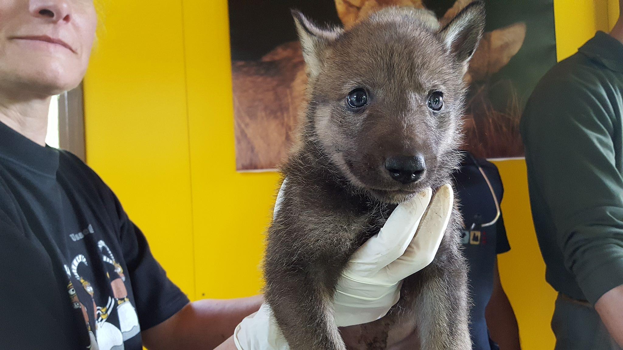 Photo of Alpi marittime, nascono i primi cuccioli di lupi in cattività