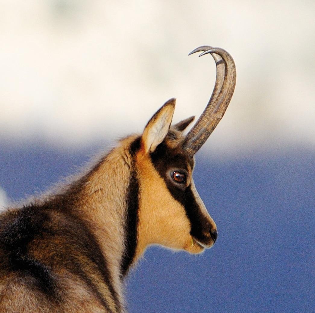 Photo of Gran Sasso, scampato pericolo per il camoscio più bello del mondo