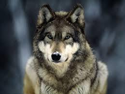 Photo of Val di Susa, lupi attaccano gregge nella notte