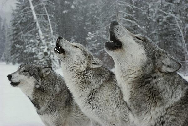 """Photo of Coldiretti: """"I lupi sono troppi, abbattiamoli"""". Sandro Lovari risponde: """"La convivenza va gestita""""."""