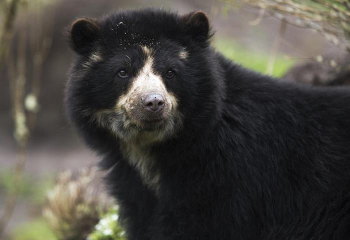 Photo of La famosa invasione degli orsi andini in Ecuador