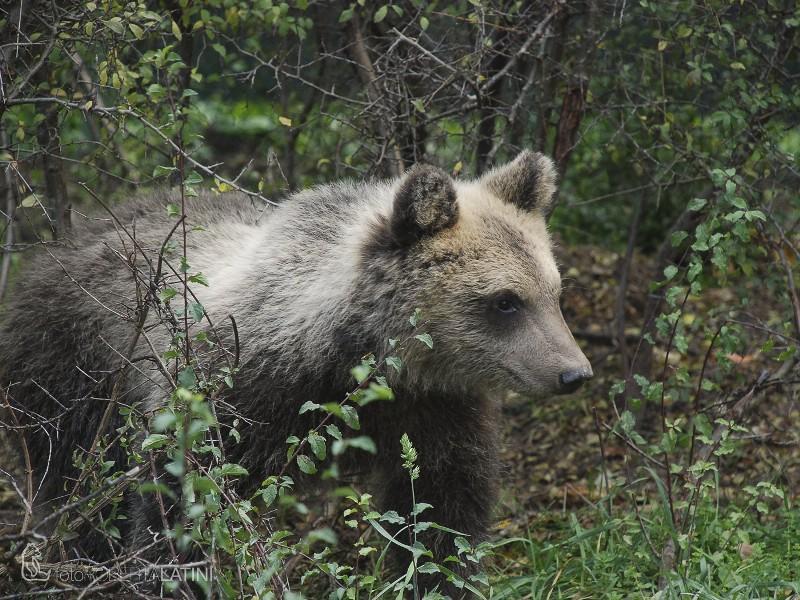 Photo of L'orsetta Morena non è stata uccisa