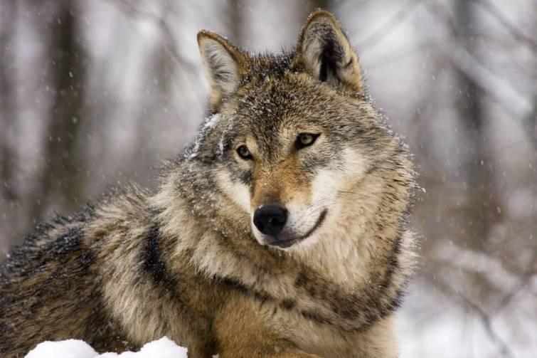 Photo of Nuovi attacchi a greggi nelle Alpi, si torna a parlare dei lupi