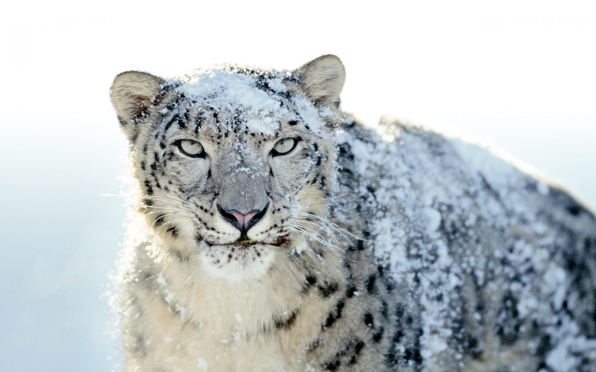Photo of Leopardo delle nevi: è allarme habitat