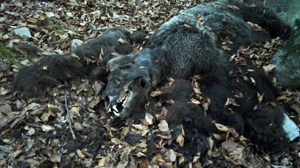 """Photo of Trentino, trovato morto un altro orso. La LAV: """"chi ha informazioni si rivolga alle autorità"""""""