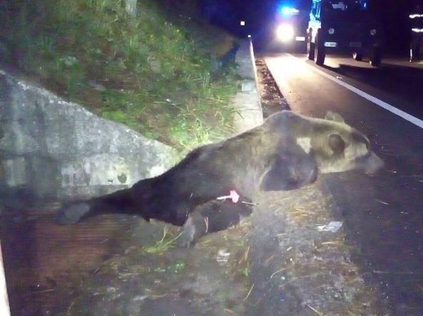 Photo of L'Orso investito in Abruzzo era già ferito da un colpo di arma da fuoco