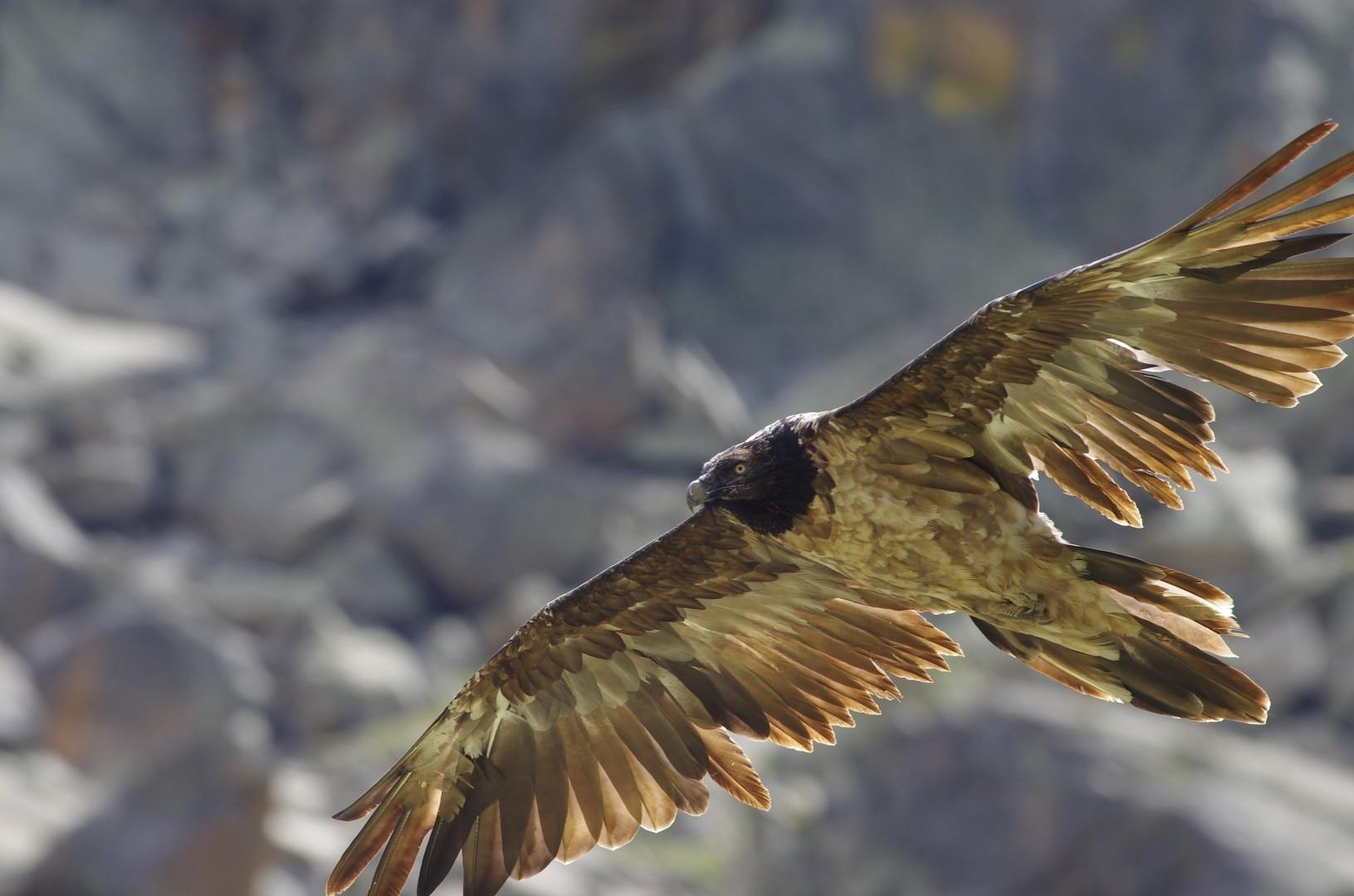 Photo of Il gipeto torna a nidificare nel Parco del Gran Paradiso: limiti all'arrampicata in Valnontey