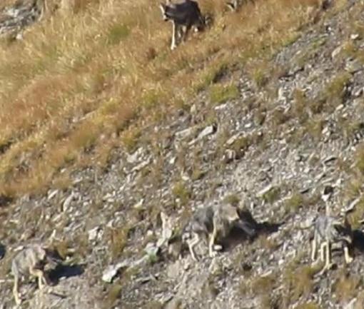 Photo of Trovata carcassa di lupo ad Introd: l'animale ucciso da un colpo di arma da fuoco