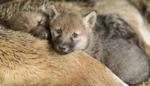 Photo of Una bella vittoria per il lupo
