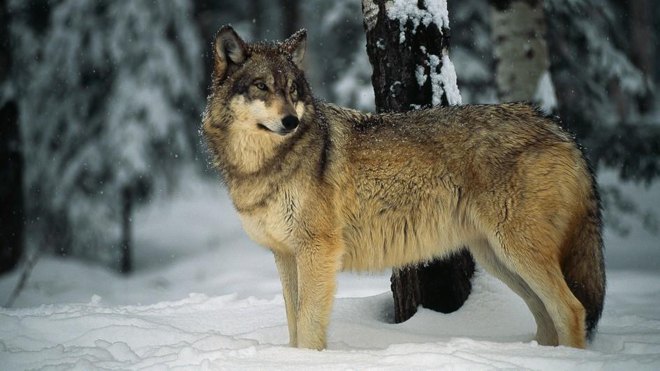 Photo of La bufala corre sul web… anche contro i lupi!