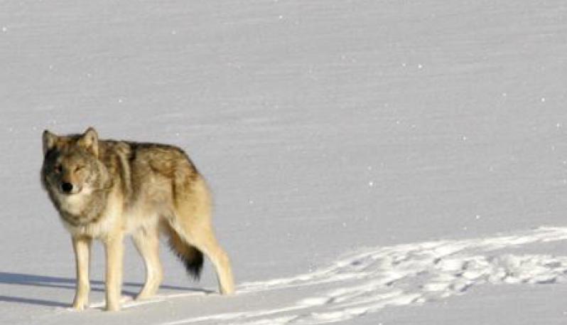 Photo of A sciare con i lupi