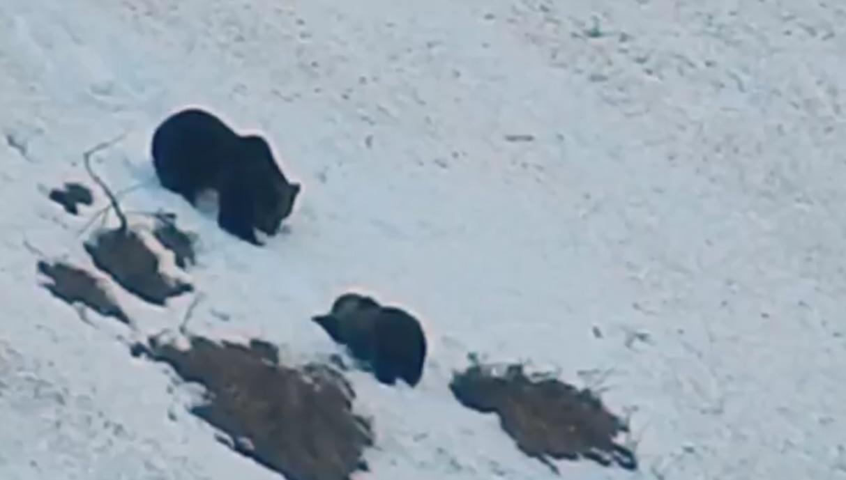 Photo of Trentino, Giochi sulla neve per mamma orsa e il suo cucciolo