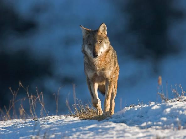 Photo of Il lupo italiano: tanto unico quanto a rischio