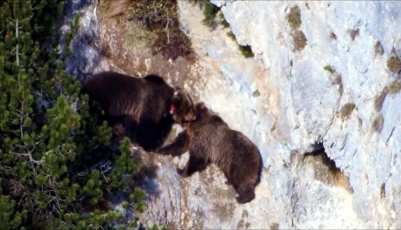 Photo of Stagione degli amori: ripreso il corteggiamento tra orsi