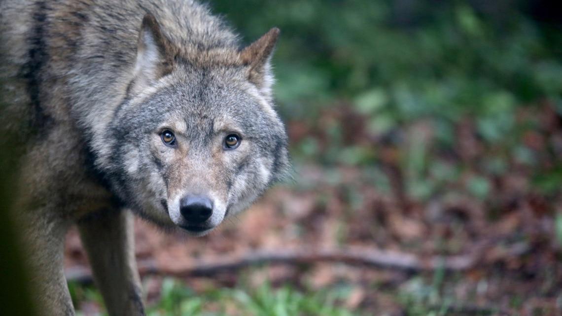 Photo of Lo stato del lupo in Veneto, il report di LIFE WolfAlps