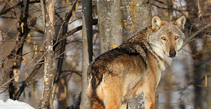 Photo of Se il lupo torna sulle Orobie