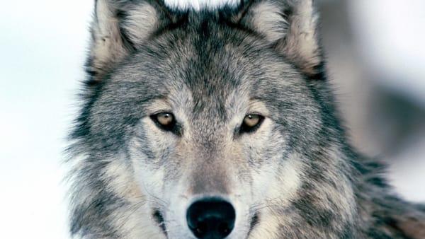 Photo of Lupi, il Veneto esce dal progetto Life WolfAlps