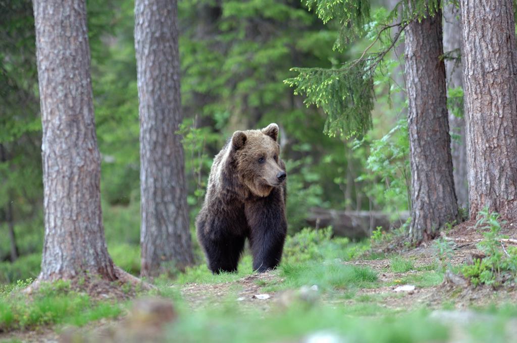 Photo of Trentino: feriti padre e figlio dopo un attacco di un orso. Indaga la forestale