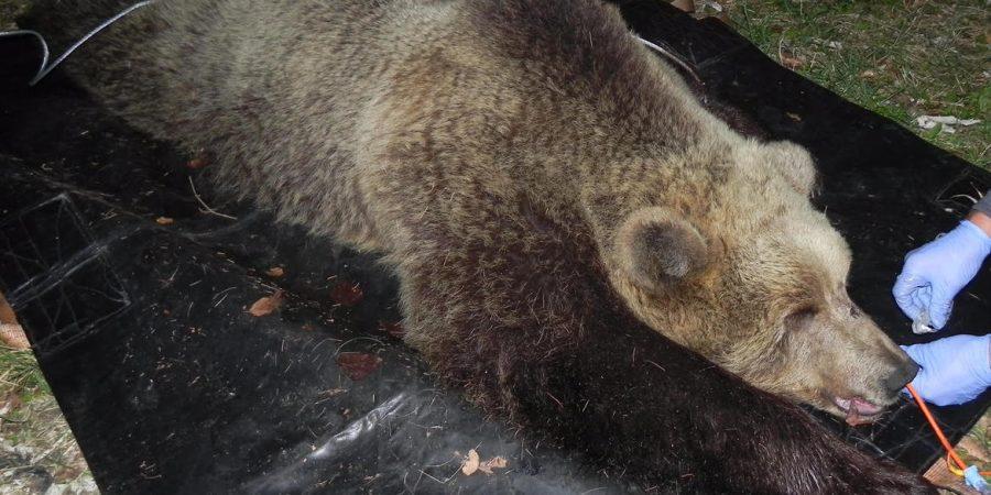 Photo of Uccisa in Trentino l'orsa  KJ2 che aveva aggredito un uomo