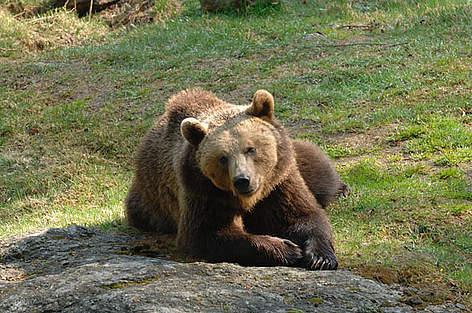 Photo of Convivenza con l'orso bruno: Un convegno di CAI e SAT a Trento