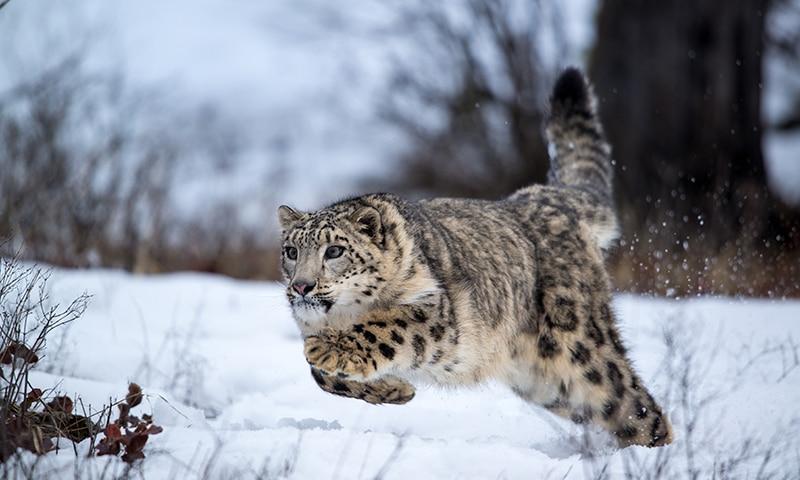 Photo of Leopardo delle nevi: specie a rischio o no?