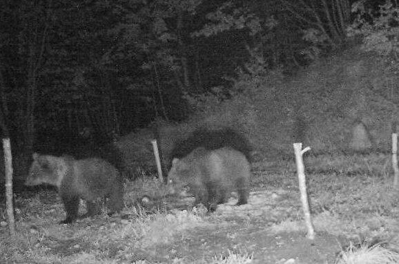 Photo of I due orsetti figli dell'orsa KJ2 stanno bene e sono ancora insieme