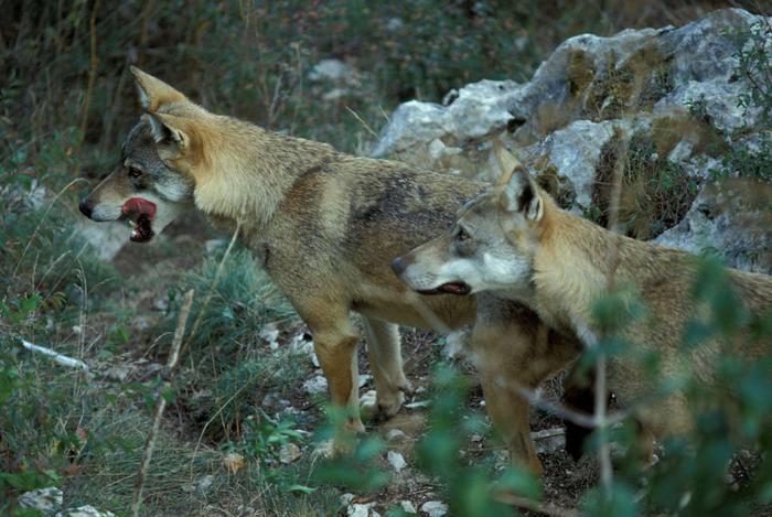 """Photo of Nuovo branco di lupi nel Parco del Gran Paradiso. """"Proseguire azione di informazione degli abitanti"""""""