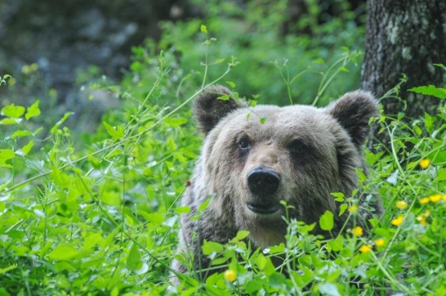 Photo of Il segreto della sopravvivenza dell'orso marsicano si nasconde nei suoi geni