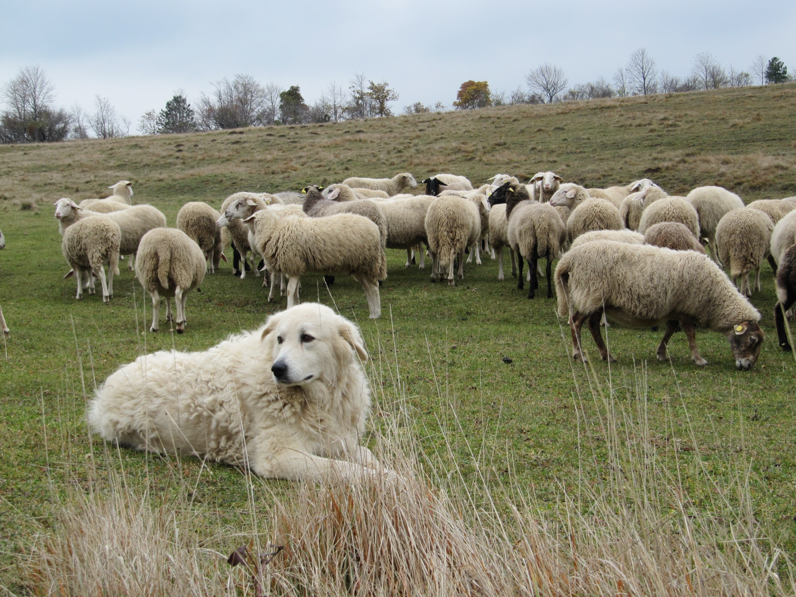 Photo of Cani da guardiania: dal CAI 7 norme di comportamento per gli escursionisti responsabili