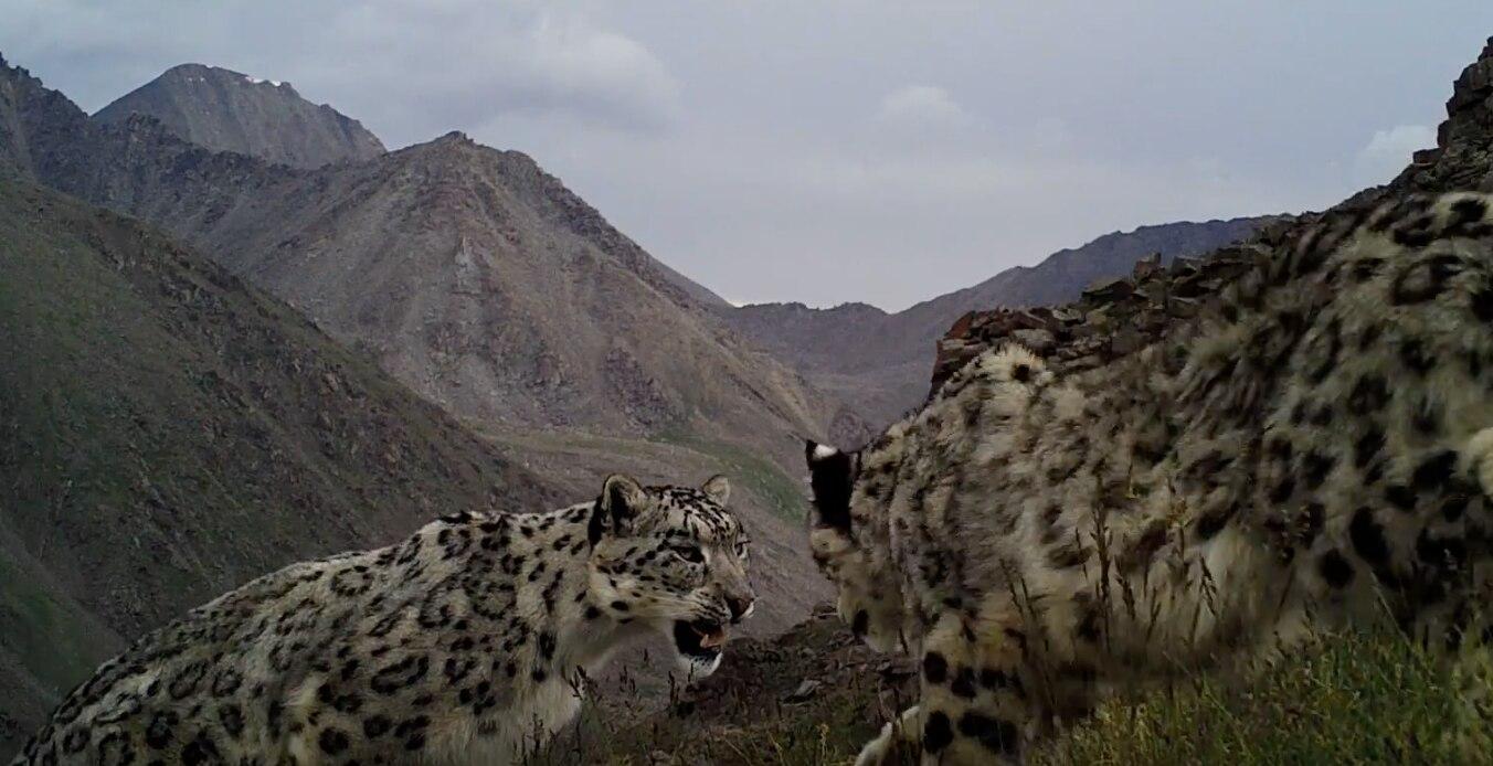 Photo of Ogni giorno un leopardo delle nevi scompare