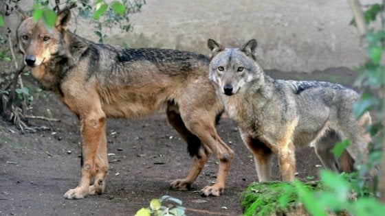 Photo of Torna il lupo nel Salento dopo 100 anni
