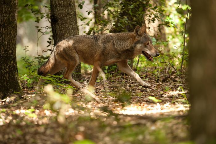 Photo of La Valle d'Aosta chiederà di poter abbattere i lupi