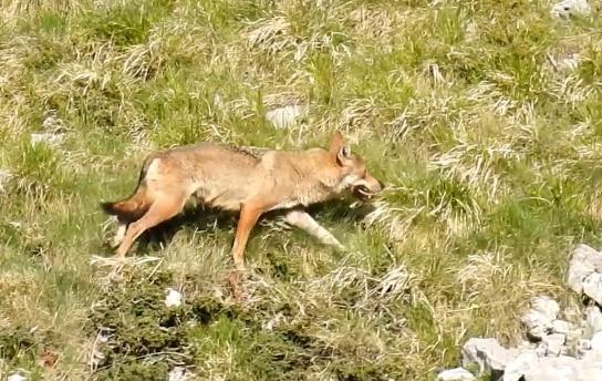 Photo of Balla coi lupi in Abruzzo, partecipa al contest inviando i tuoi video