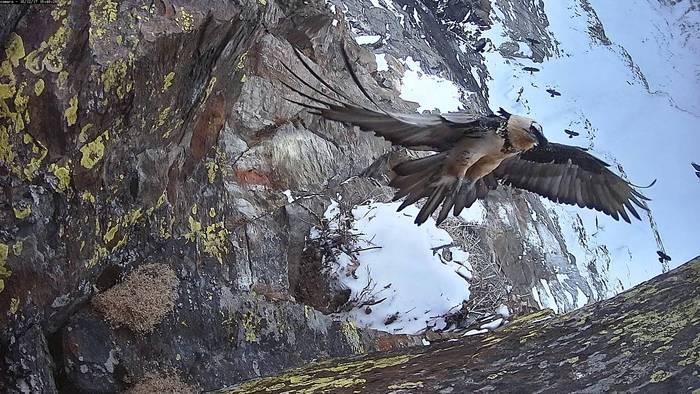 Photo of Le spettacolari immagini del Gipeto nel Parco del Gran Paradiso rubate dalla webcam