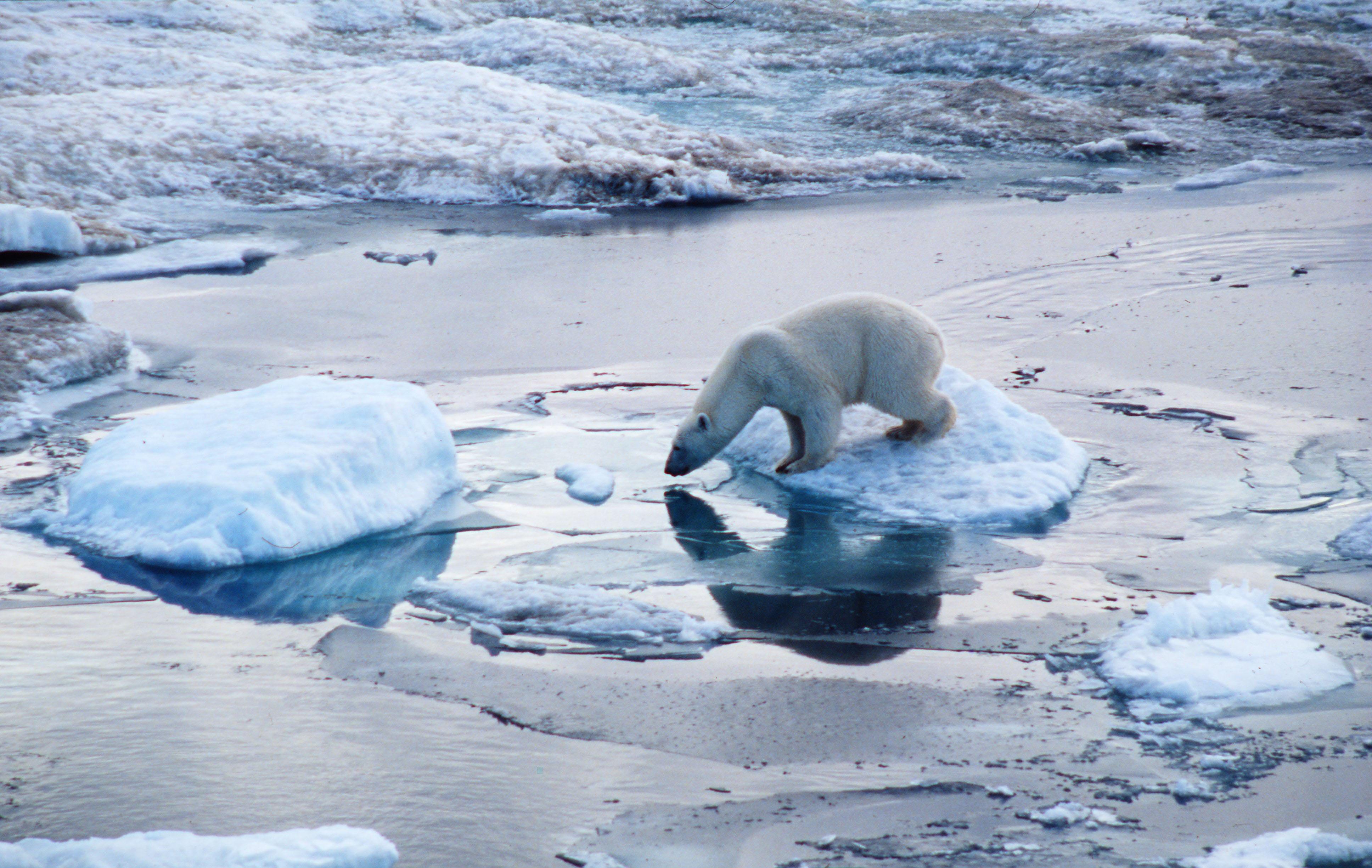 Photo of 27 febbraio, Giornata Mondiale dell'Orso polare. WWF: a rischio il 30%