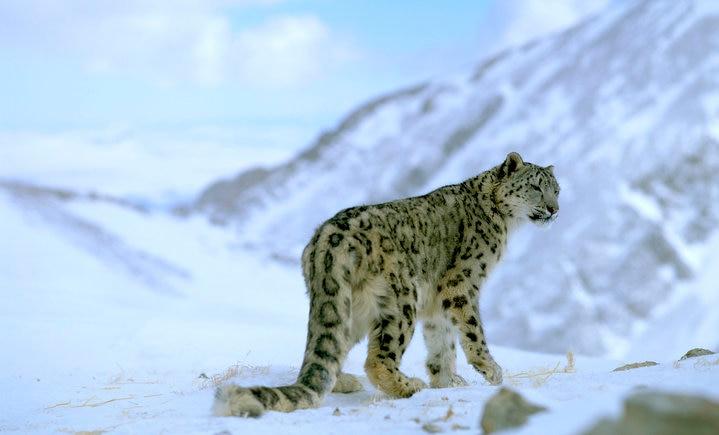 Photo of Leopardo delle nevi, il delicato equilibrio tra abitanti e rischio estinzione