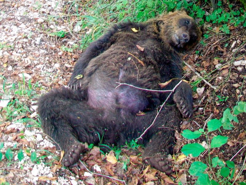 """Photo of Assoluzione per l'orso marsicano ucciso nell'aquilano, ma il Parco chiarisce: """"Uccidere un orso è reato"""""""