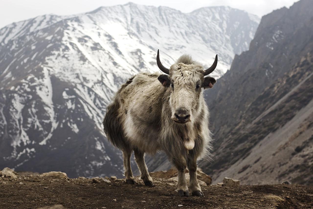 Photo of Il riscaldamento climatico minaccia gli yak dell'Himalaya, abituati a vivere fino a – 40°